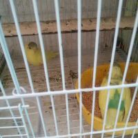 for sale 2 budgi baby