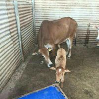 Arab cow for sale
