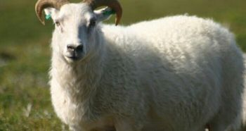 Experience in sheep vaccination
