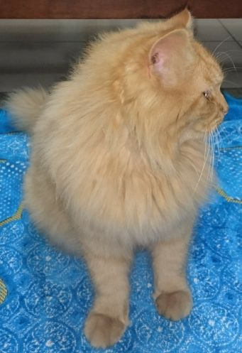 sherase moon face male cat fore sale
