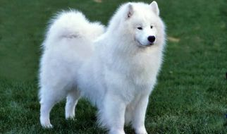 samoyed or poodle for adoption
