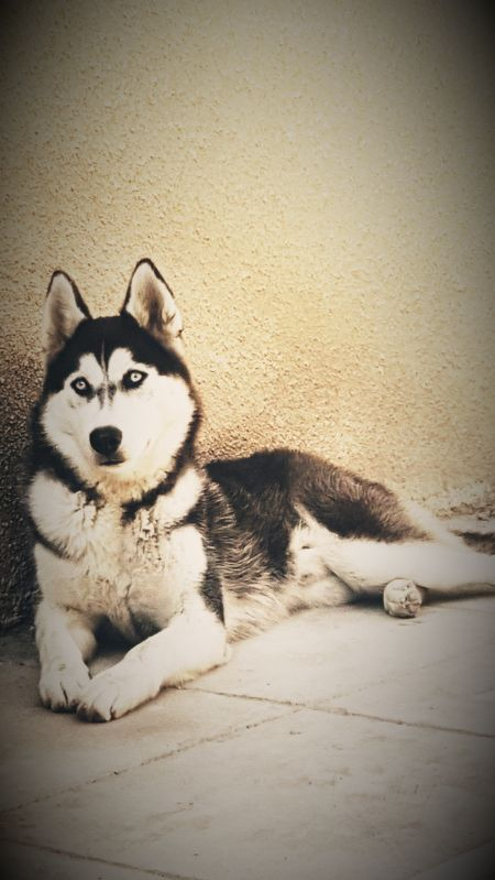 pure male siberian husky