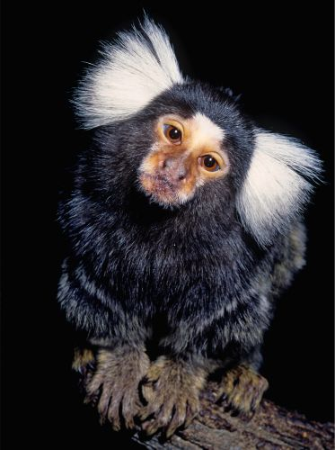 Marmoset wanted