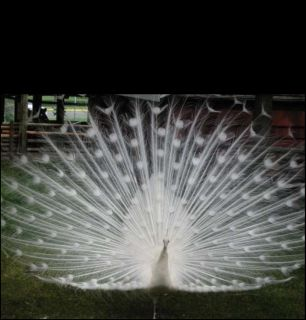 White female peacock required