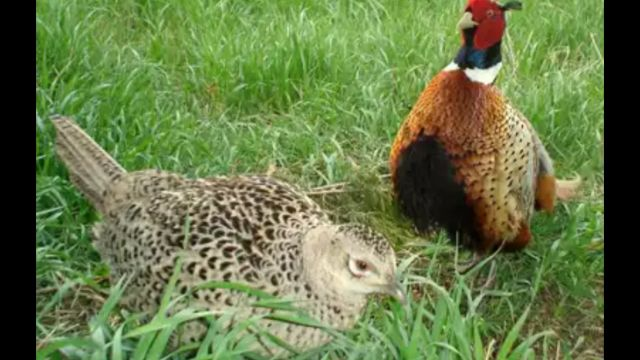 ring neck pheasant pair