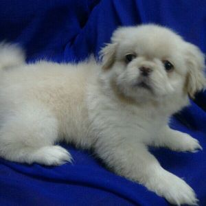 required male Pekingese dog for mating