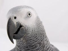 African gray parr
