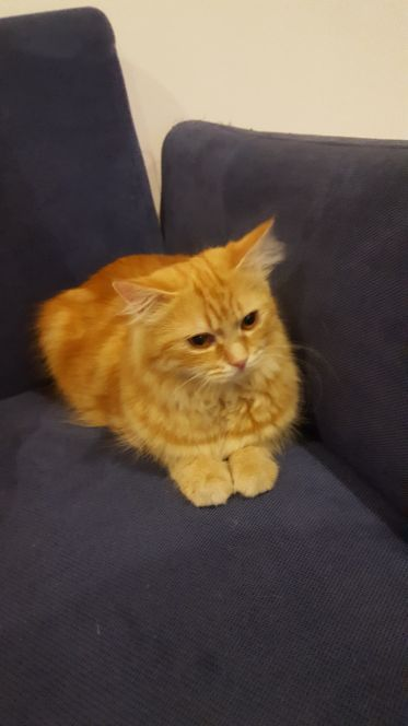 needed cherazi cat male for breeding