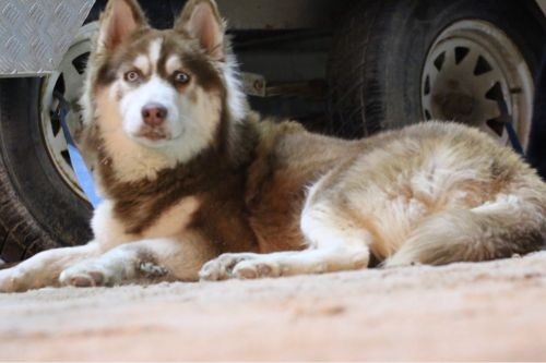 red husky for sale