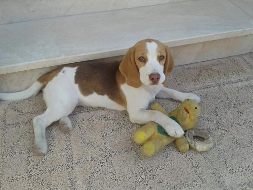 Missing Dog in Al Thumama