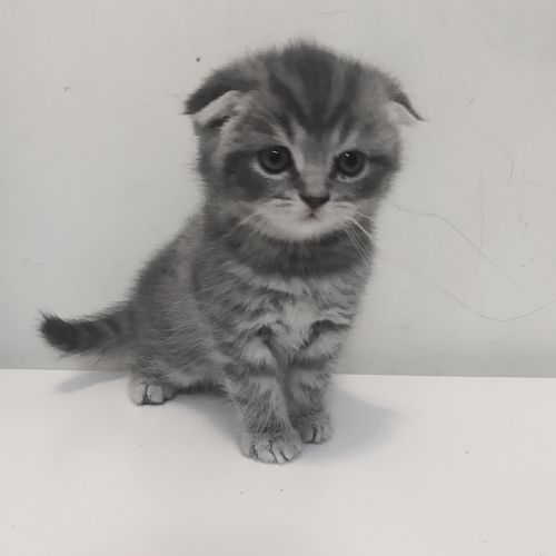 Scottish folds