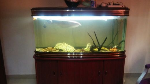 Big silver Arowana+aquirum for sale