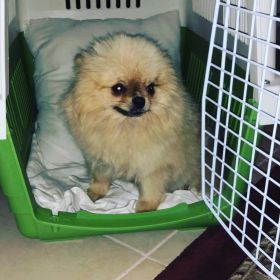 pomerian for sale