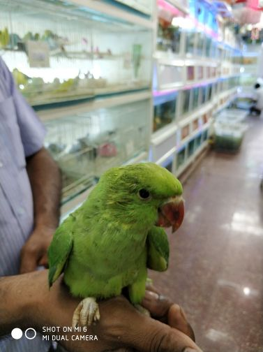 Indian Ringneck Green Baby
