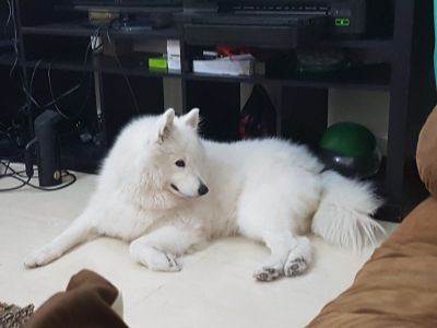 male Samoyed or malamute required