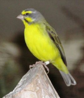 yellow fonted canary