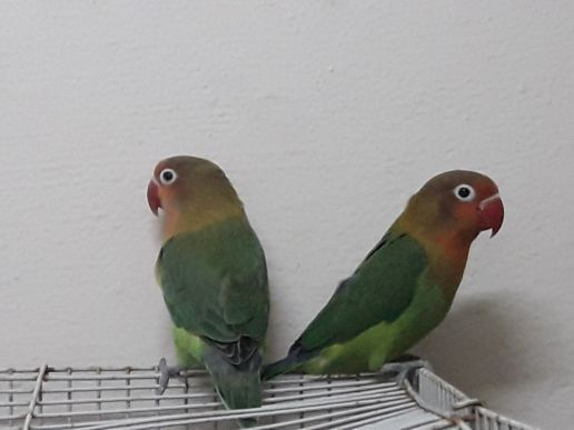 Parakeet with cage