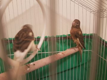 Canary pair (male & female)