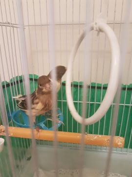 Canary pair ( male & female) for sale