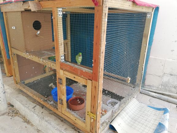 Adult Pair parrots + one male + big cage