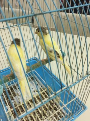 baby canary for sale
