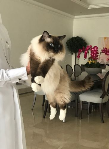 Ragdoll male cat