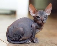 looking for sphynx kitten
