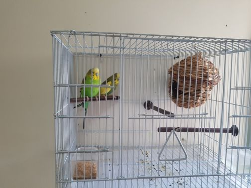 Love Bird Budgery Pair with cage