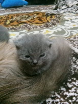 for sale small cat one month scotch