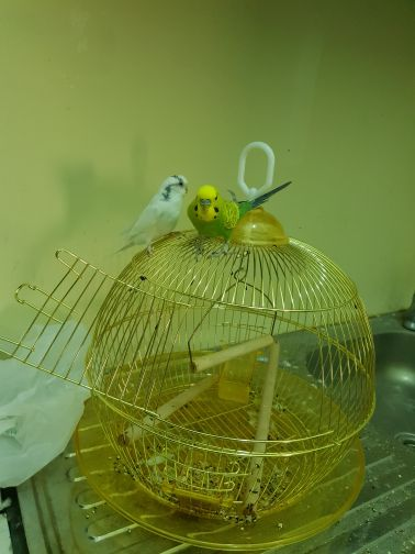 Budgerigar and cage