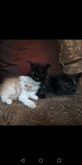 for sale pure kitten