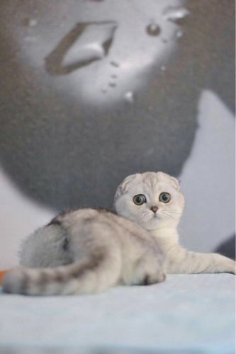 Scottish fold (Male) for meting
