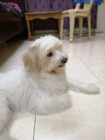Maltese Puppy for sale