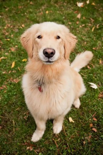 i am asking  for Golden Retriever puppy