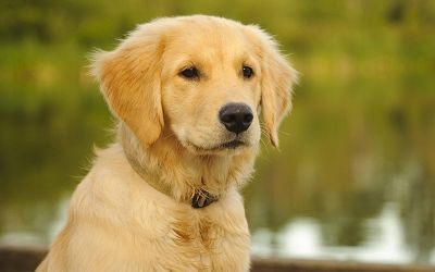 retriever dog