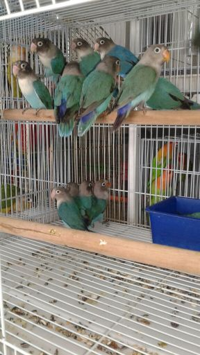 Blue Ficher Love Bird