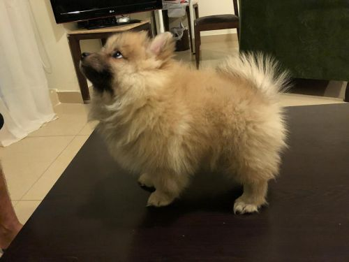 Pomeranian puppy 4 month old