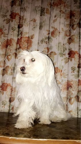 Maltese female for sale