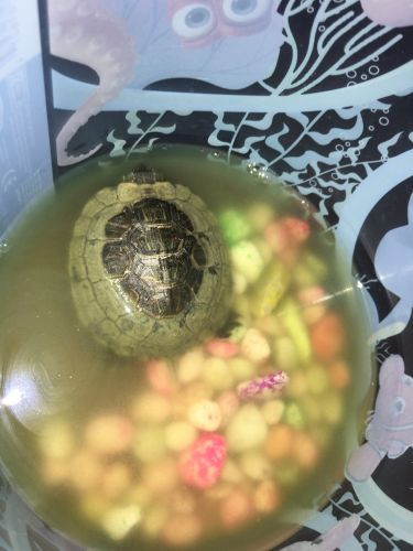 Turtle (male) for sale