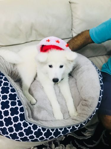 Female Samoyed dog for sales