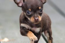 Teacup pure breed CHIHUAHUA