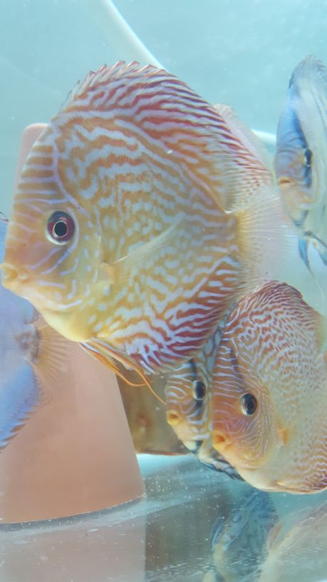 Stendker Germany Discus fish