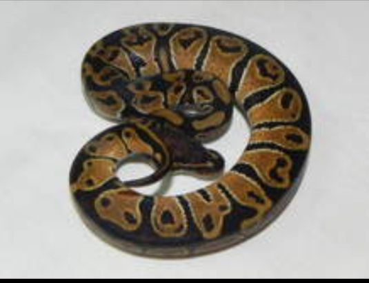 need ball python less that 1year