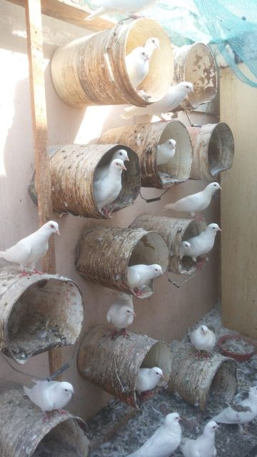 French pigeon for sale