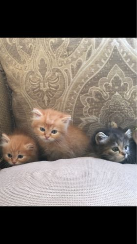 4 pure kitten for sale