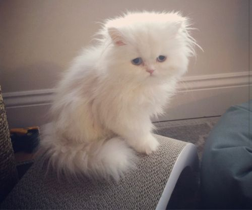 Persian kittens for sale !!!!!!!!