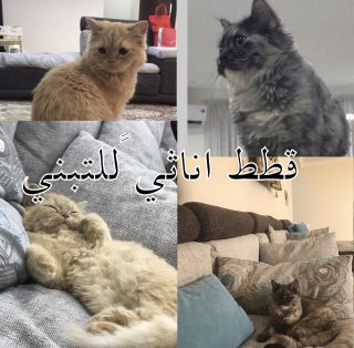 Female cats for adoption