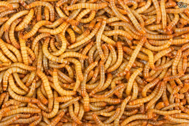 Alive worms