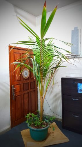 coconut plant for sale