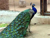 Lost peacock